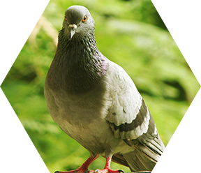 Pigeon Pest Control Services in London