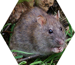 Rat Pest Control in London